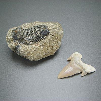 鮫の歯でボーンアックス的なものが作れそう